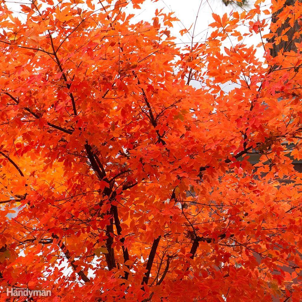 Good Front Yard Trees: Paperbark Maple