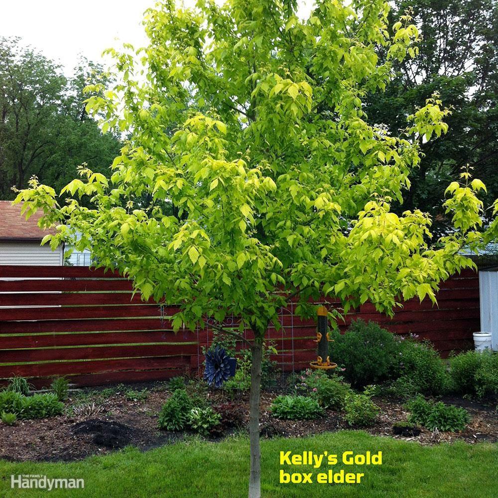Good Front Yard Trees: Box Elder