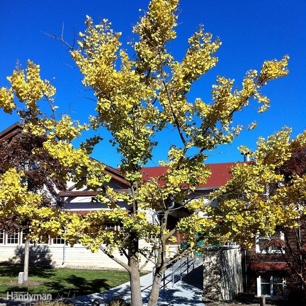 Best Trees for Backyard: Ginkgo