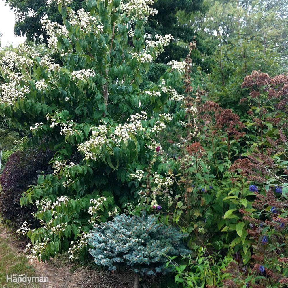 Best Trees for Backyard: Seven-Son Flower