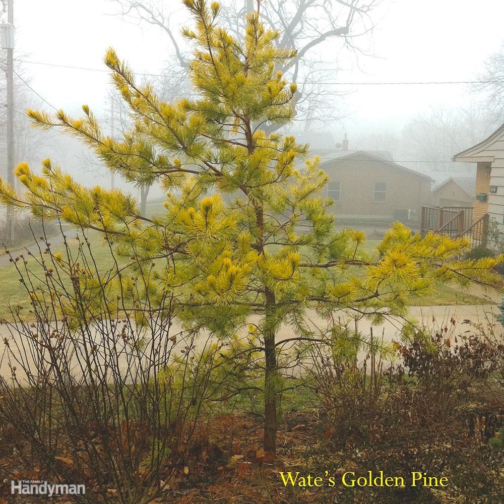 Best Trees for Backyard: Golden Pine