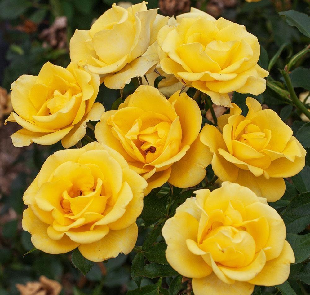 Gilded Sun Floribunda Rose