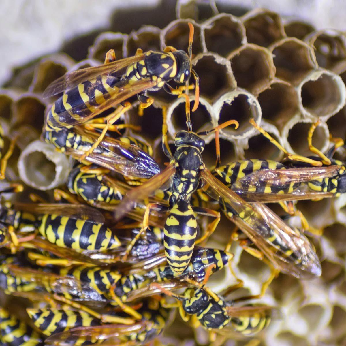 Got Wasps?