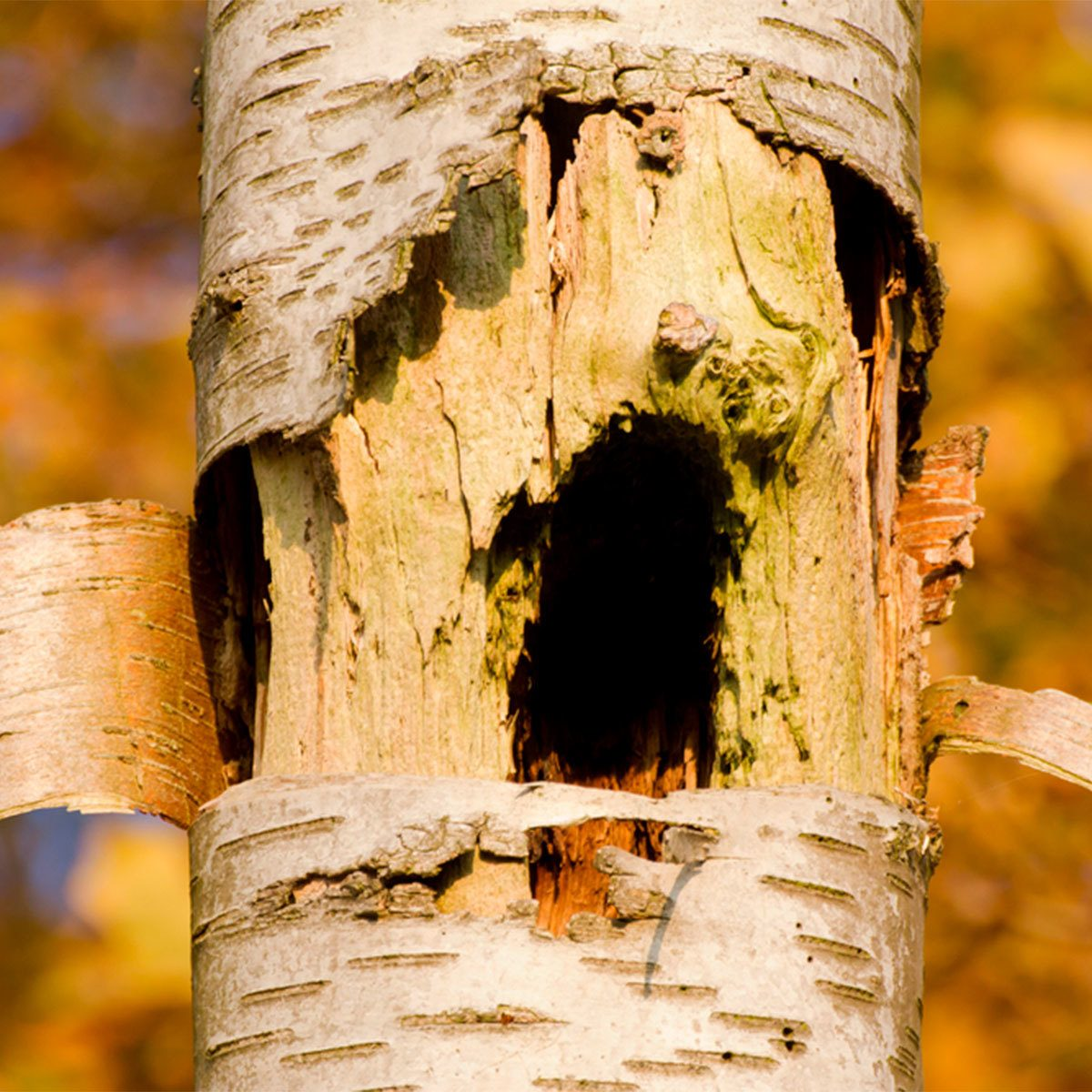 How to Scare Away Woodpeckers: Wrapping Trees