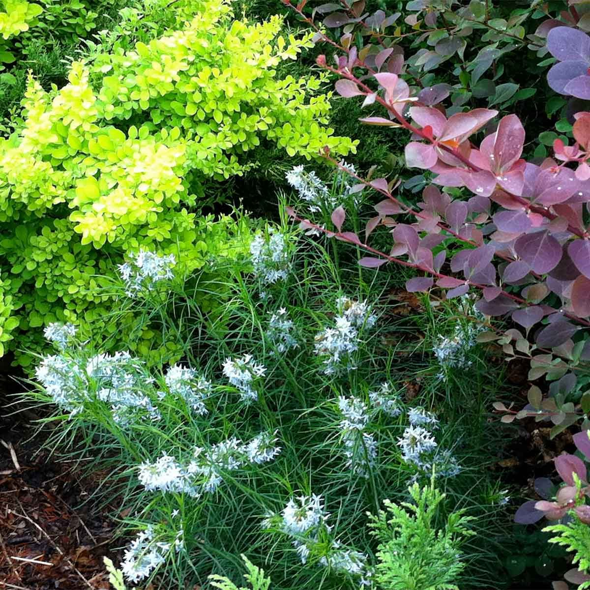 Amsonia and Barberry