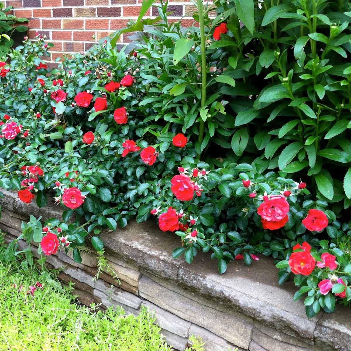 Groundcover Roses and Sedum