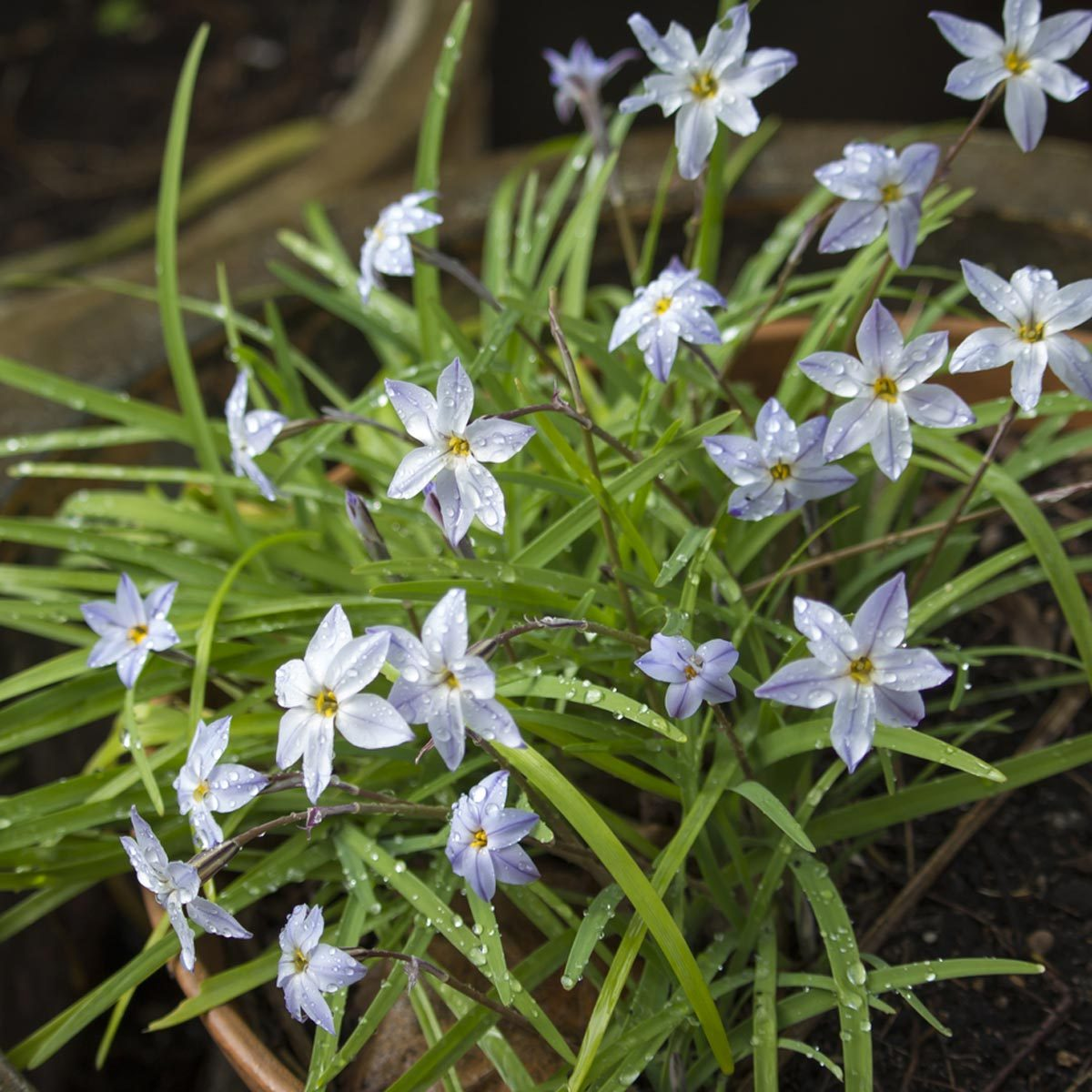 Blue starflower