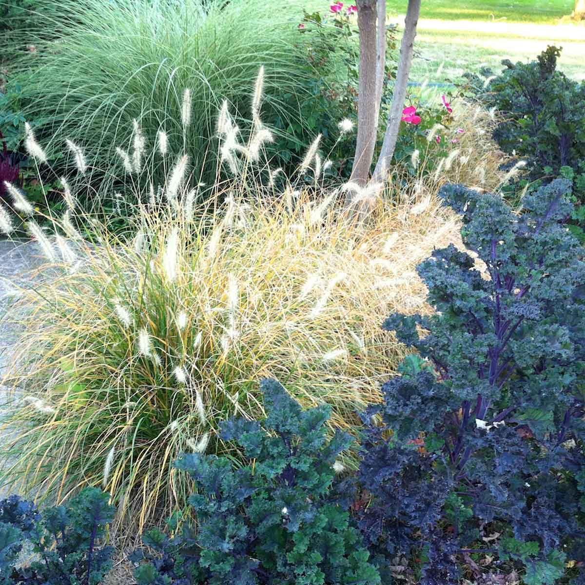 Fountain Ornamental Grass
