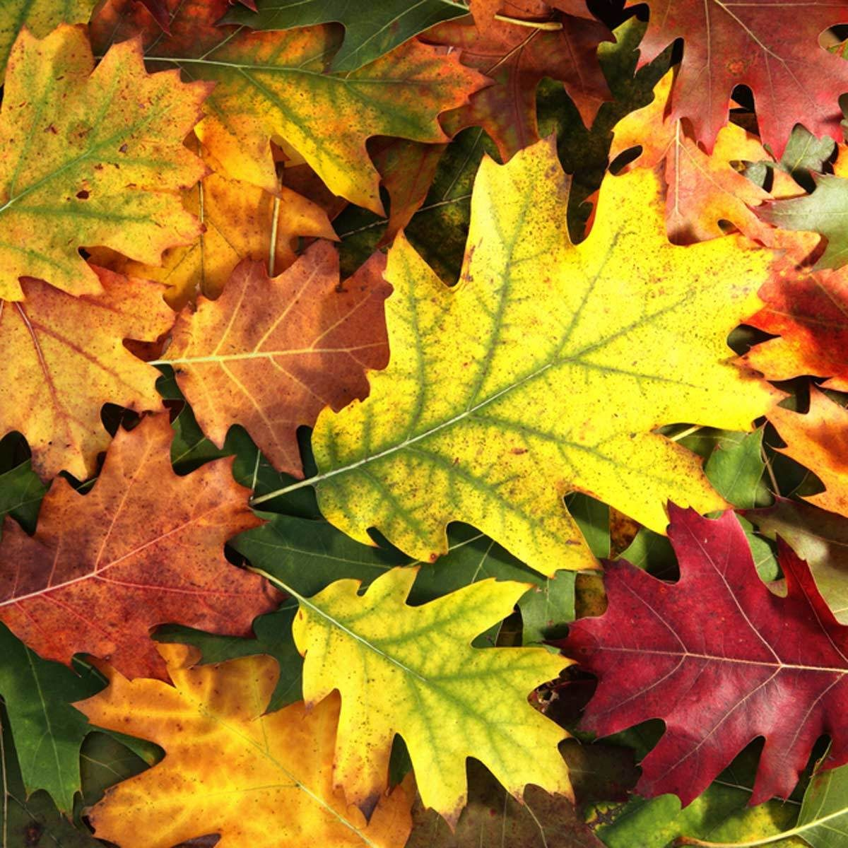Good Front Yard Trees: Red oak