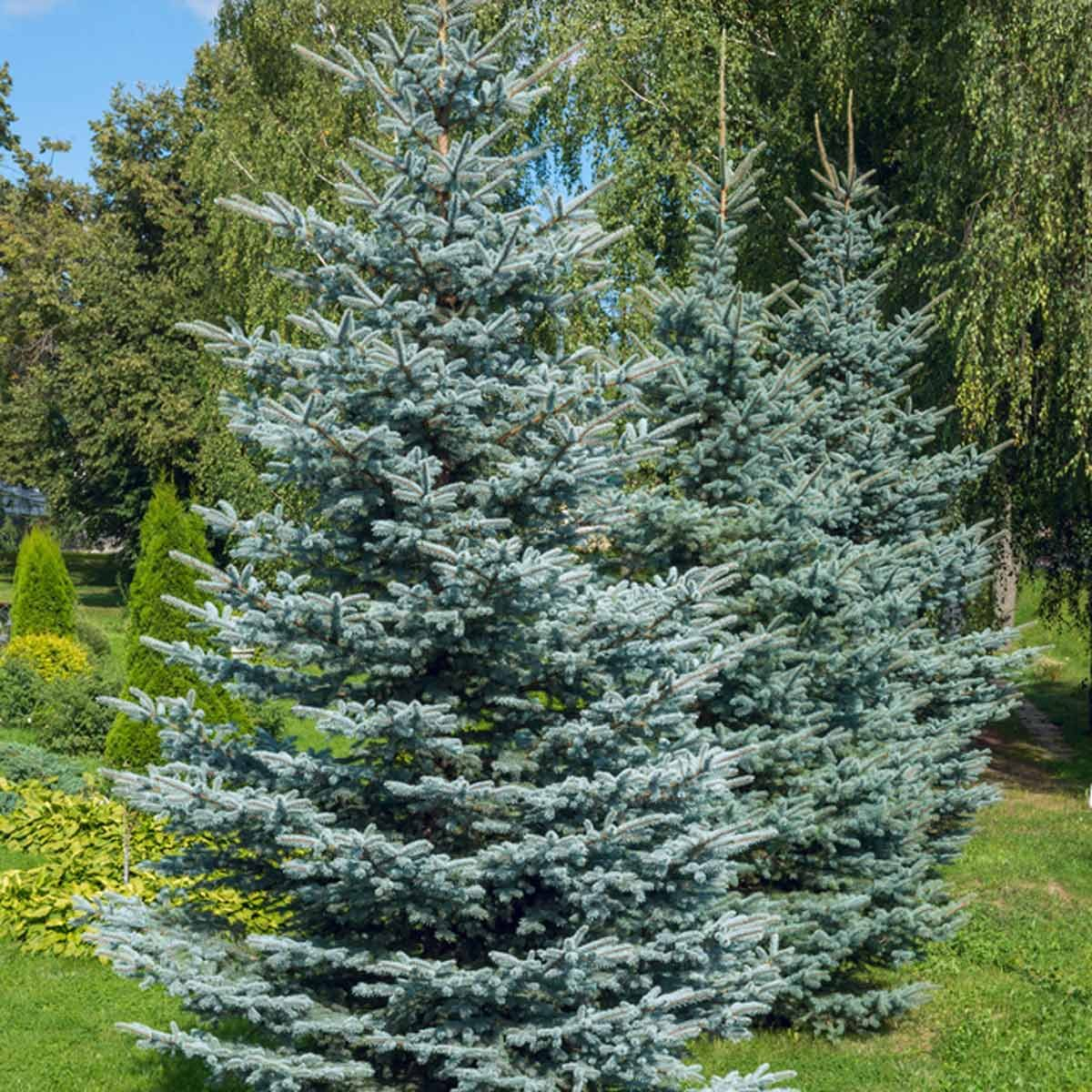Colorado blue spruce (Picea pungens)