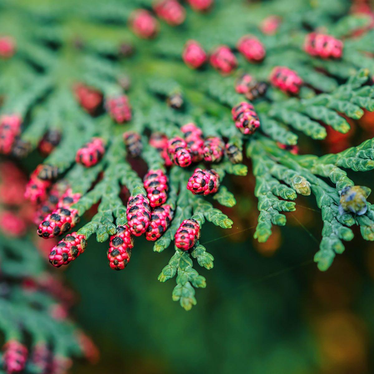 Eastern red cedar (Juniperus virginiana)