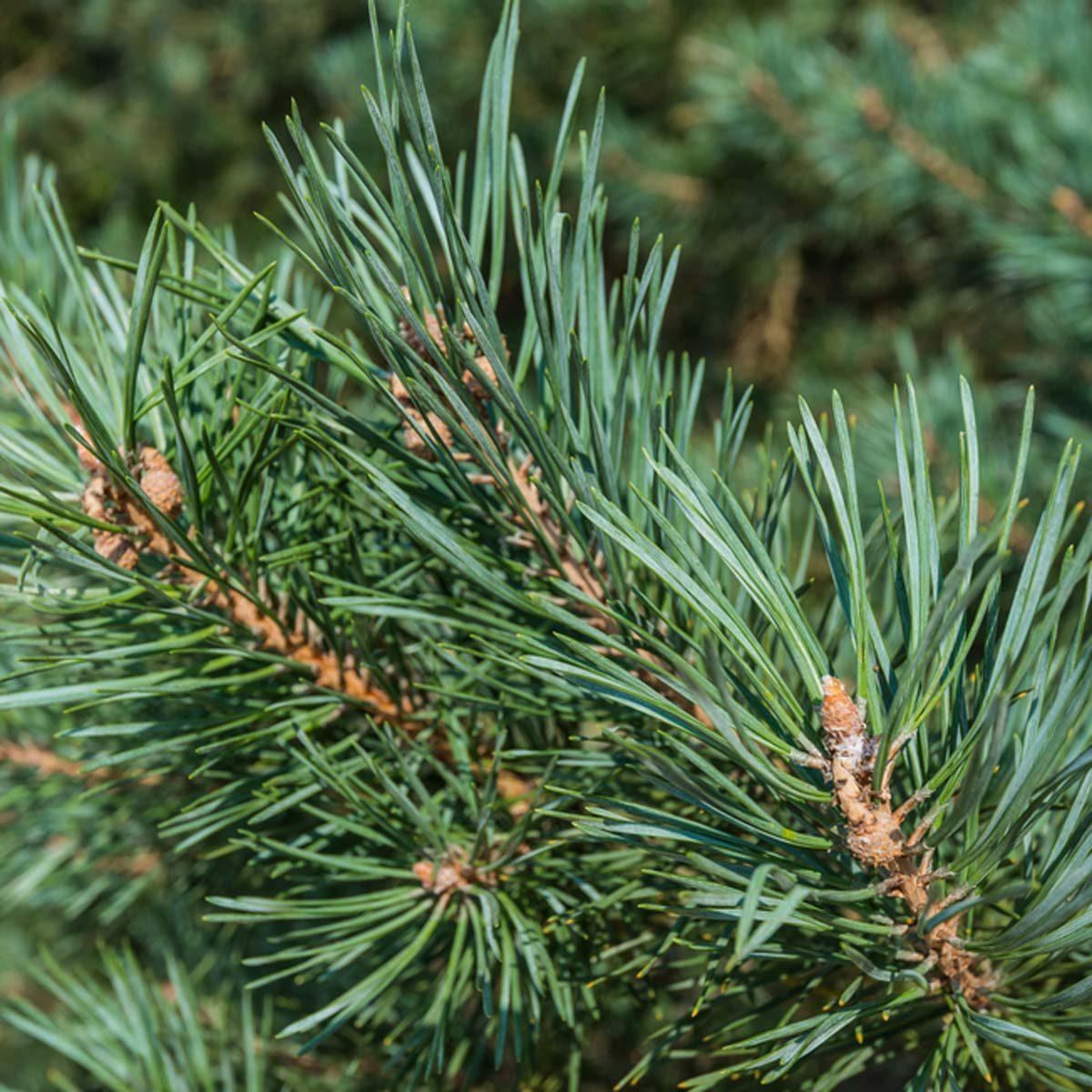 Scots or Scotch pine (Pinus sylvestris)