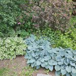 How To Grow and Care for Hostas