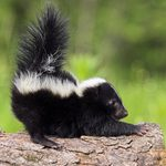 How to Get Rid of Skunk Smell