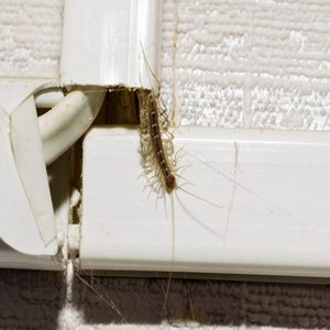 Here's Why You Should Never Kill a House Centipede