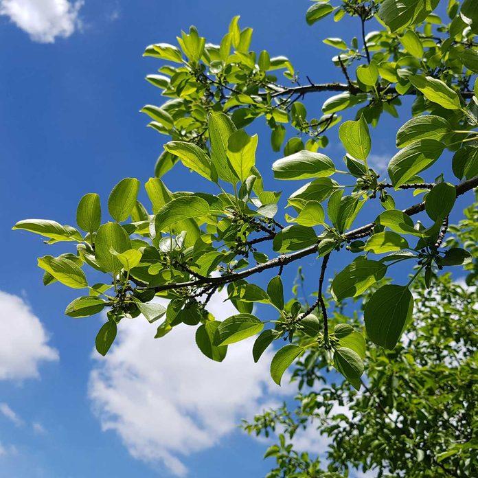 Common Buckthorn leaves