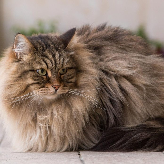 Cute long haired cat of siberian breed, furry hypoallergenic pet of livestock in relax outdoor. Adorable domestic animal