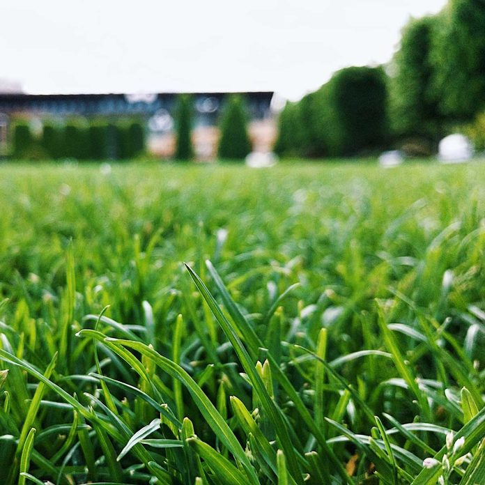 Turf grass close-up