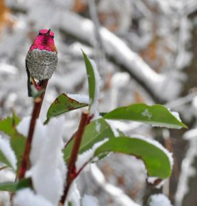 How Do Hummingbirds Survive Snow and Cold Weather?