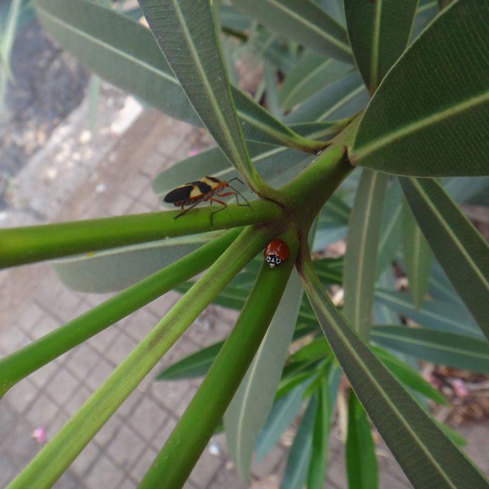 Boxelder bug and a ladybug