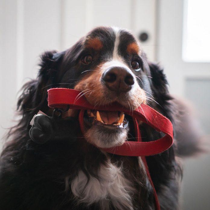 Dog holding a leash