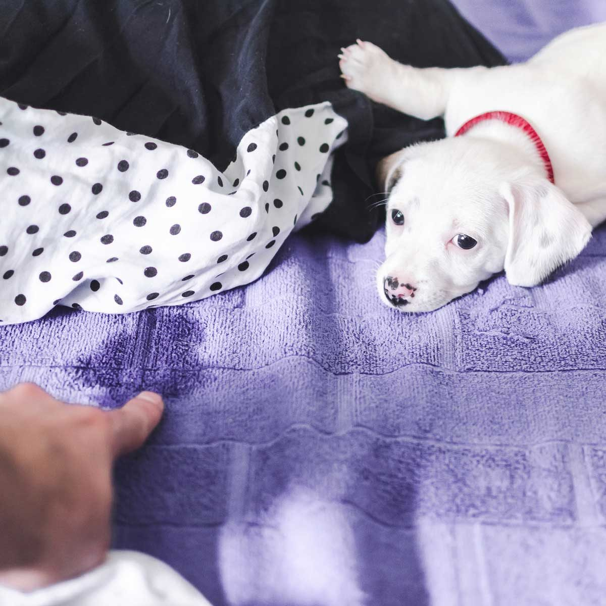 Puppy next to accident on a bed