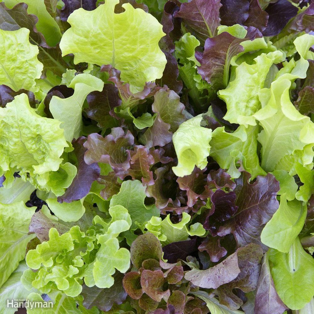 DFH17APR057_bonnie-plants-gourmet-salad-mix how to grow seeds indoors