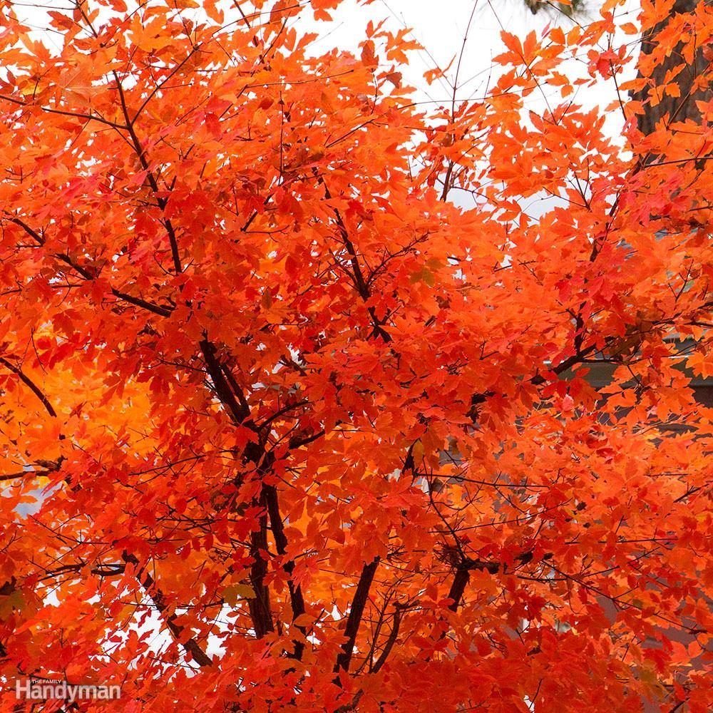 Paperbark maple tree with red leaves