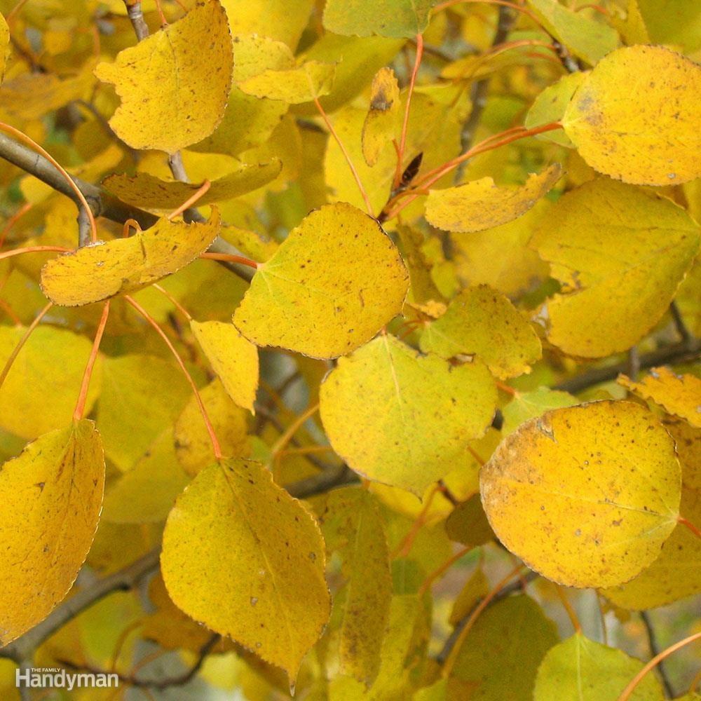 prairie-gold-aspen-leaves
