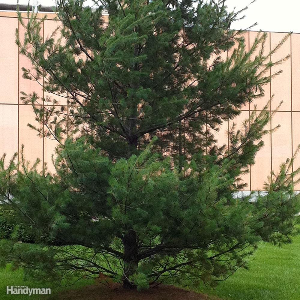 white-pine