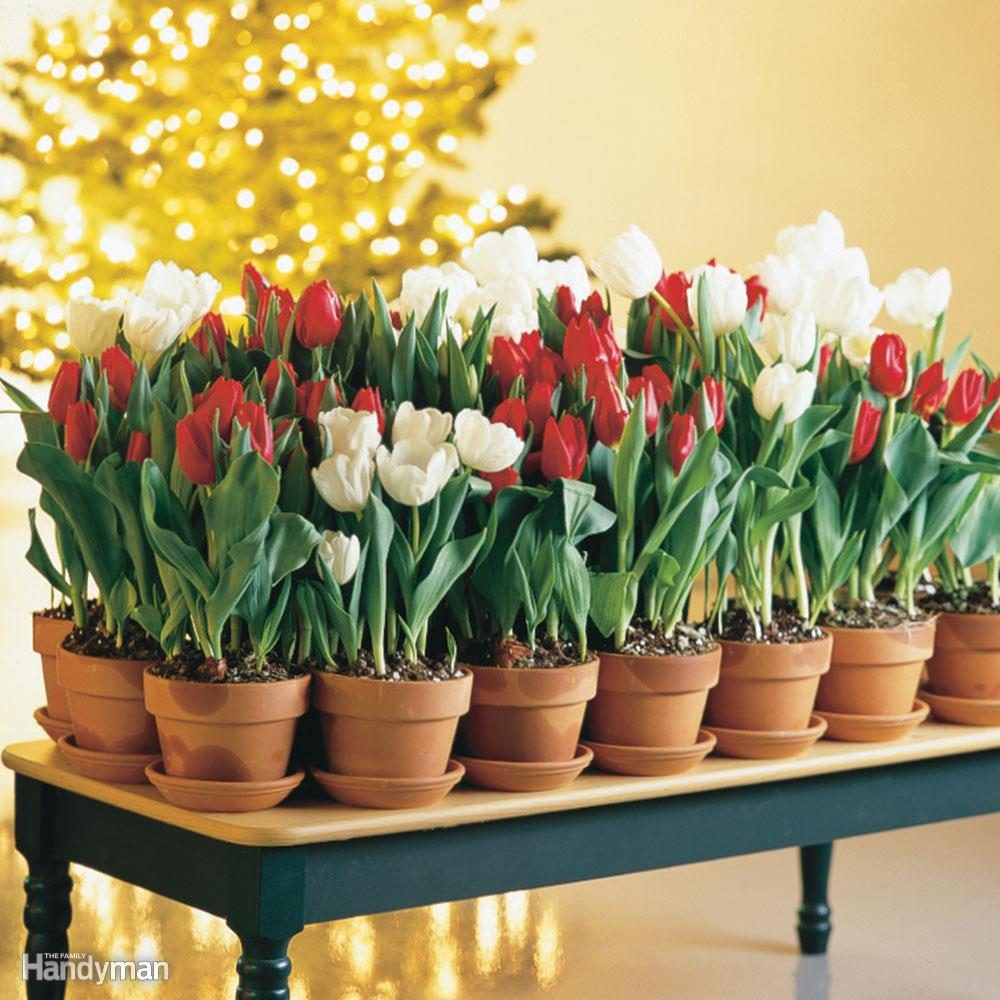 Give a Pot of Blooming Tulips