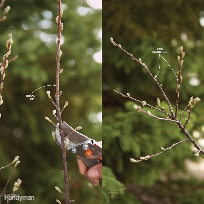 First-Year Bush Pruning