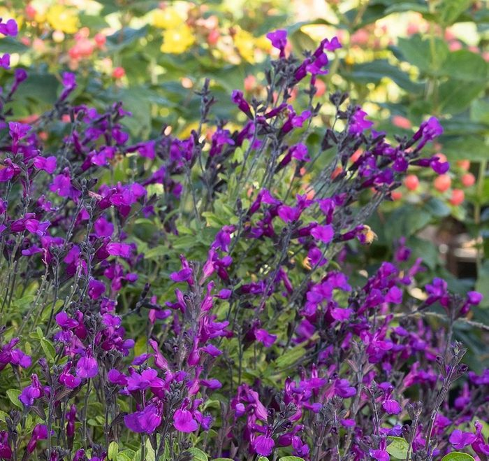 Ignition Purple Salvia