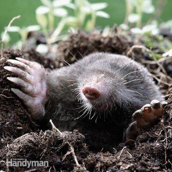 Mole-trapping