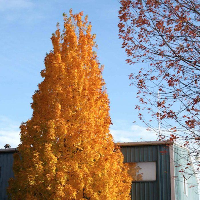 Columnar Maple
