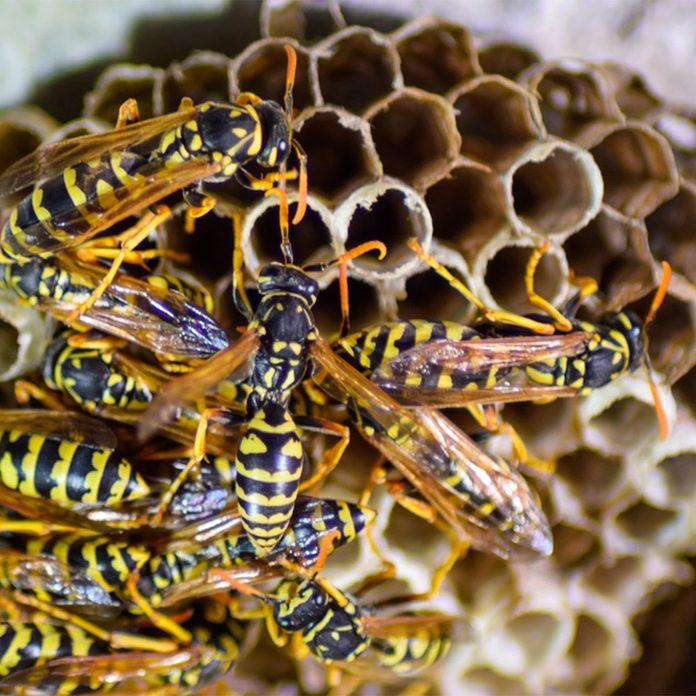 wasps wasp hive