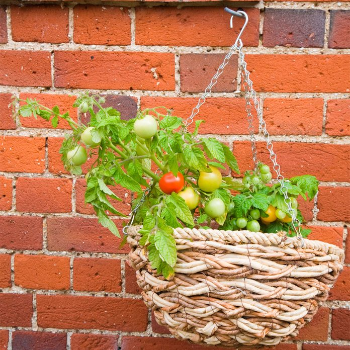 grow tomatoes in a basket