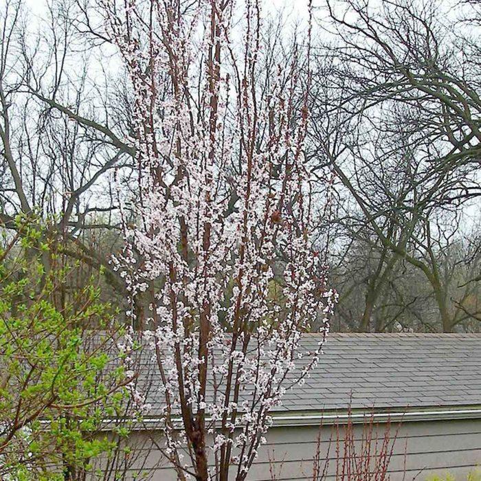 Upright Flowering Plum