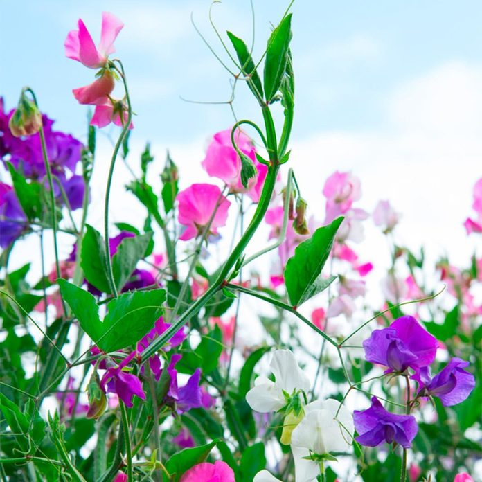 sweet pea flowers landscaping plants