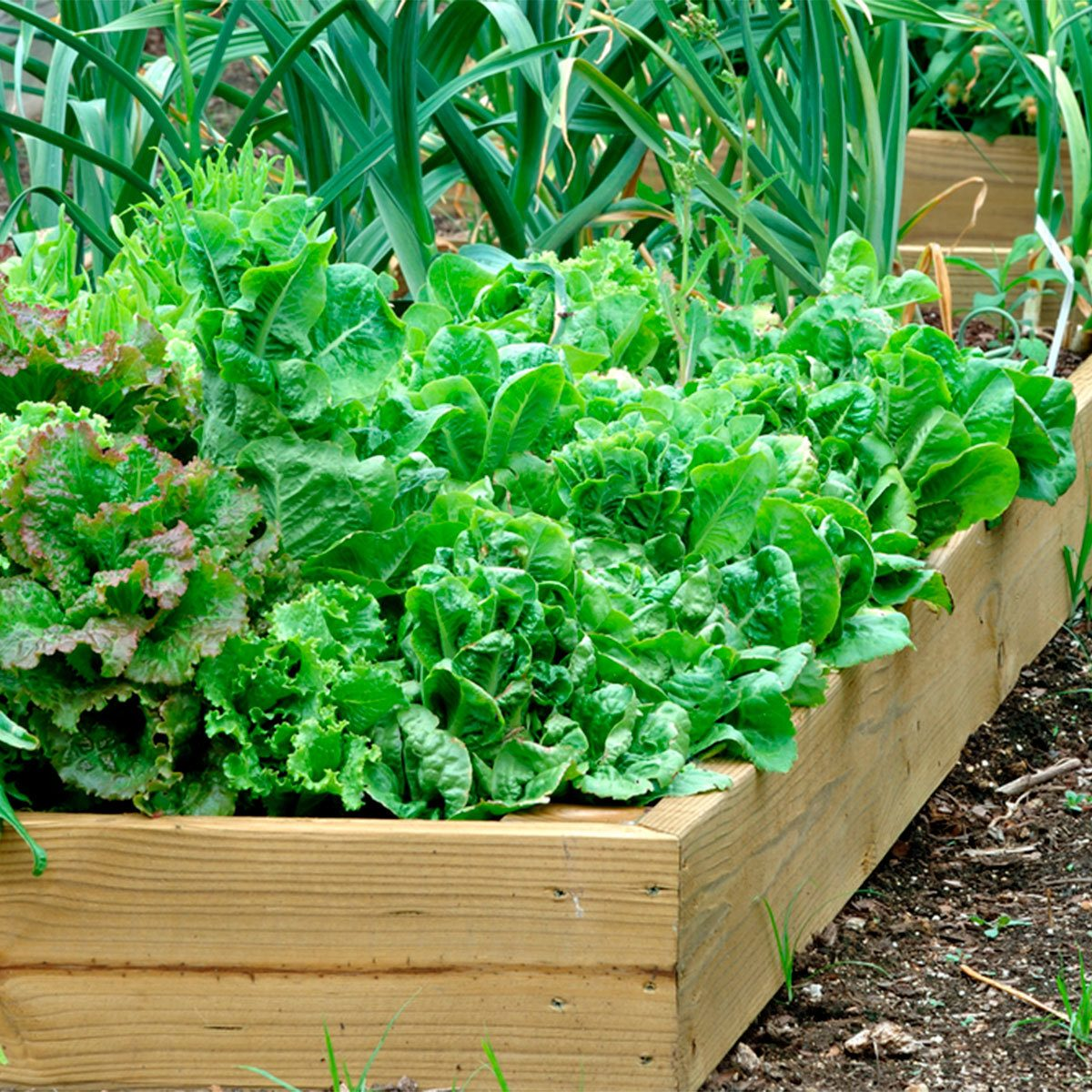 plants vegetables in garden planter