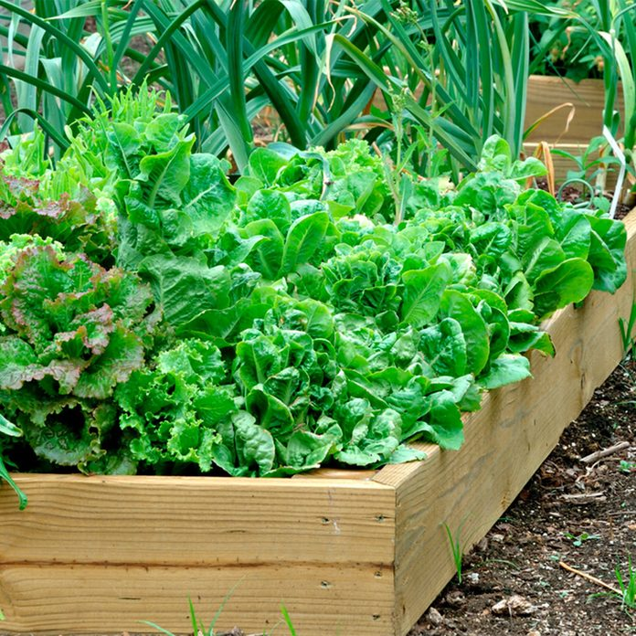 plants vegetables in garden planter