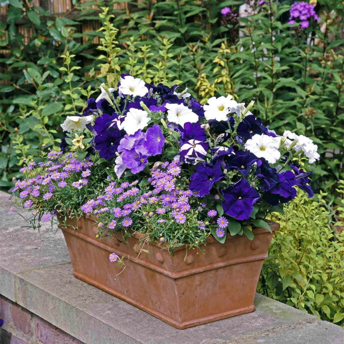 Petunias with Asters