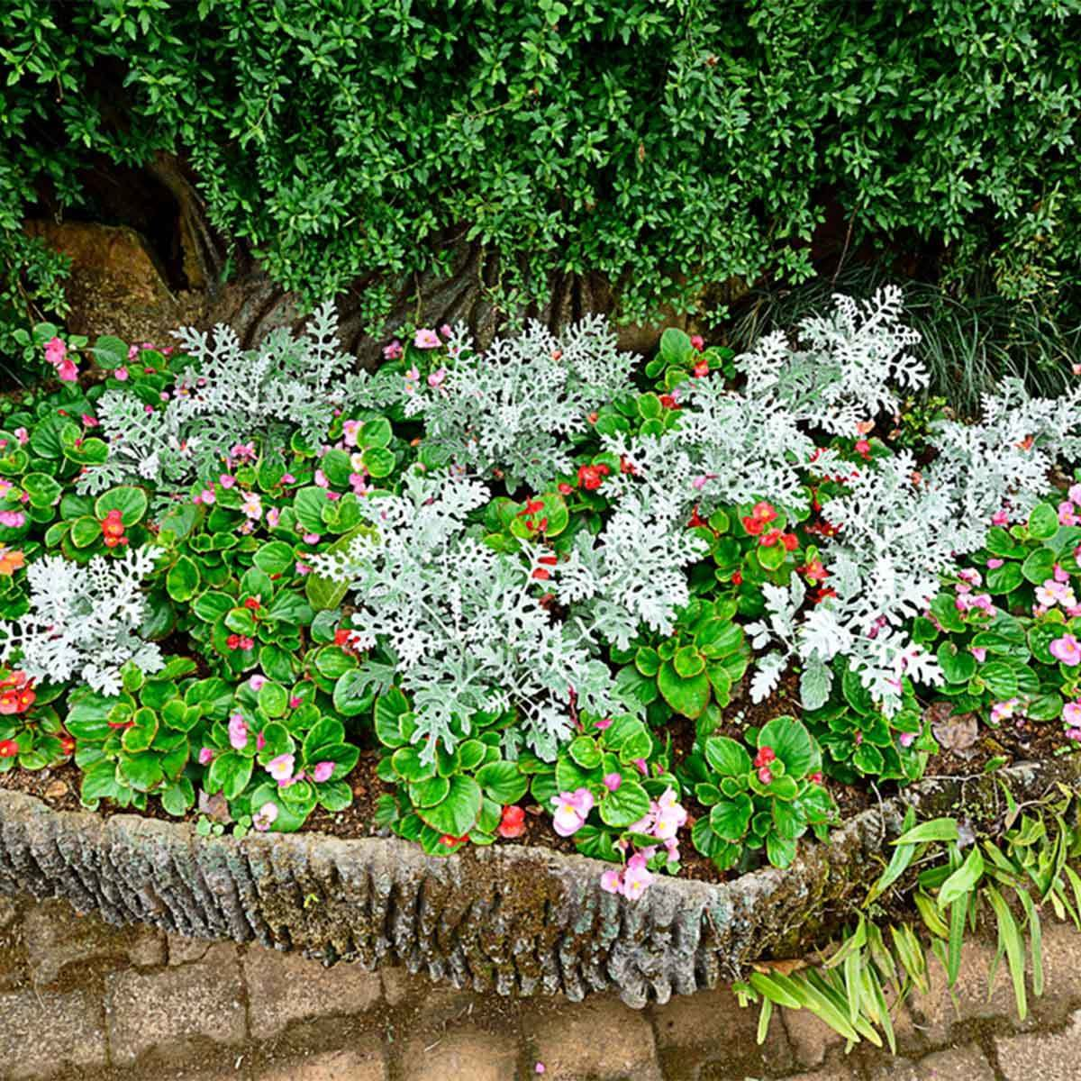 Begonias and Dusty Miller
