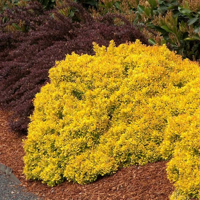 Golden Nugget Barberry