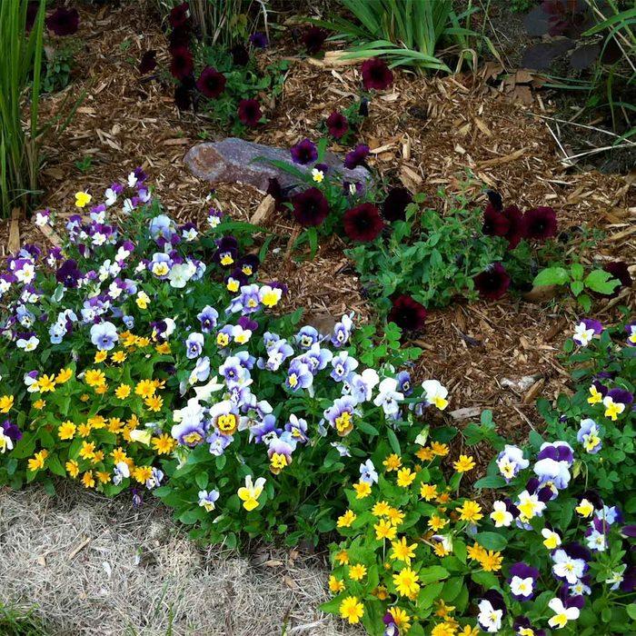 Pansies and Melampodium