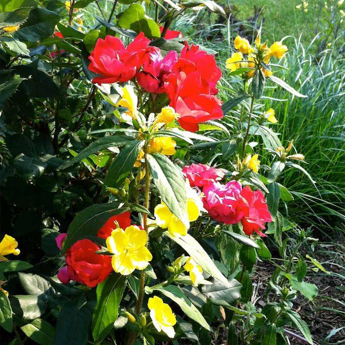 Shrub Roses and Sundrops