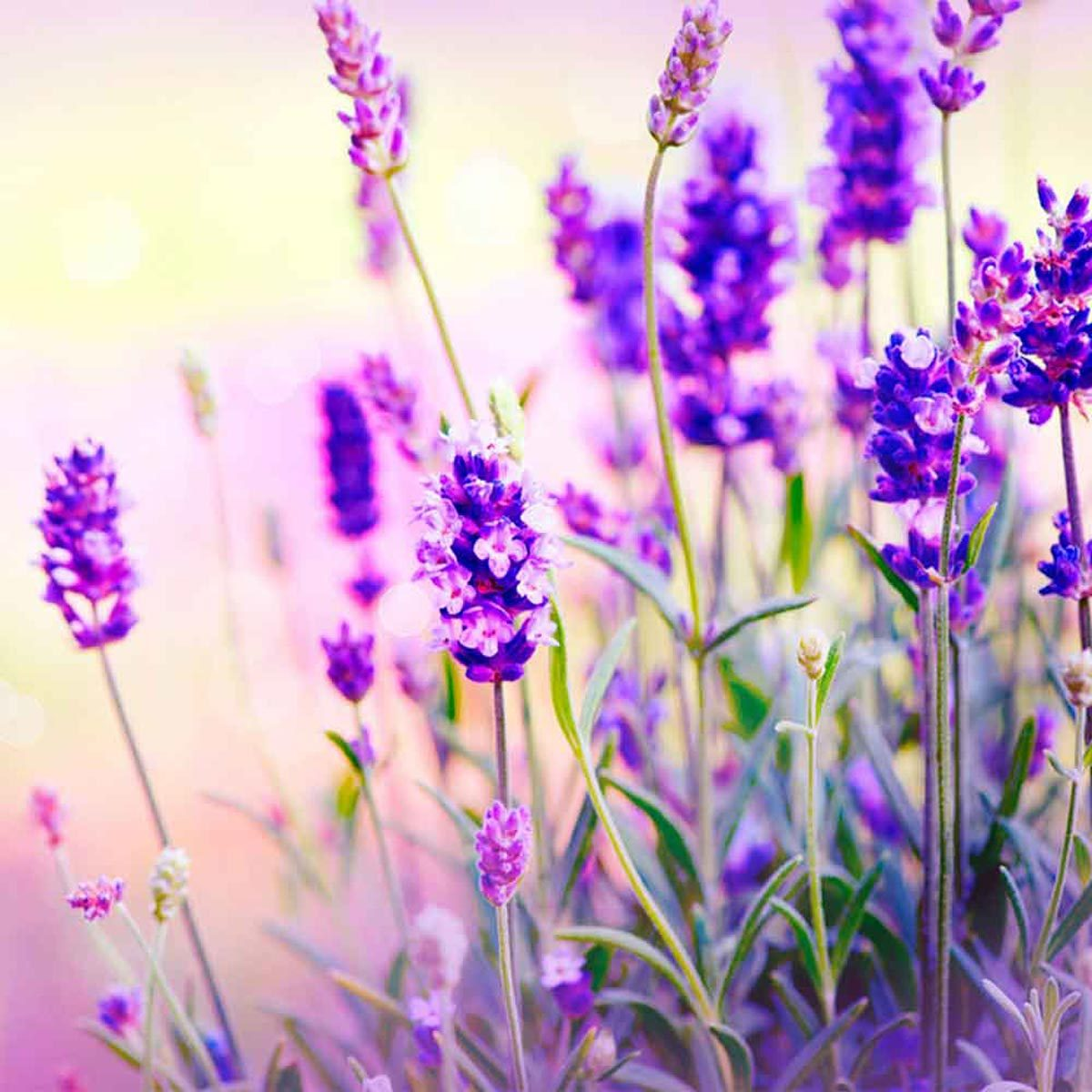 wildflowers lavender
