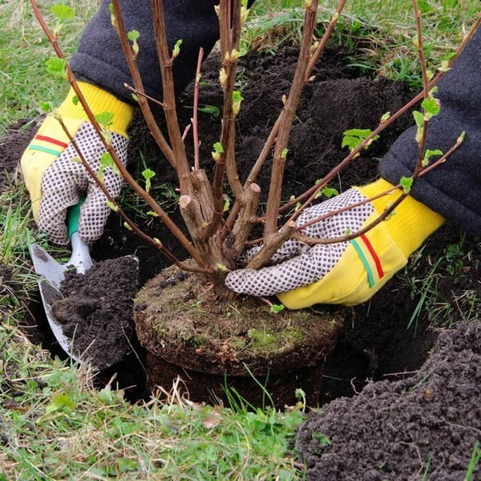 Plant Shrubs and Bushes