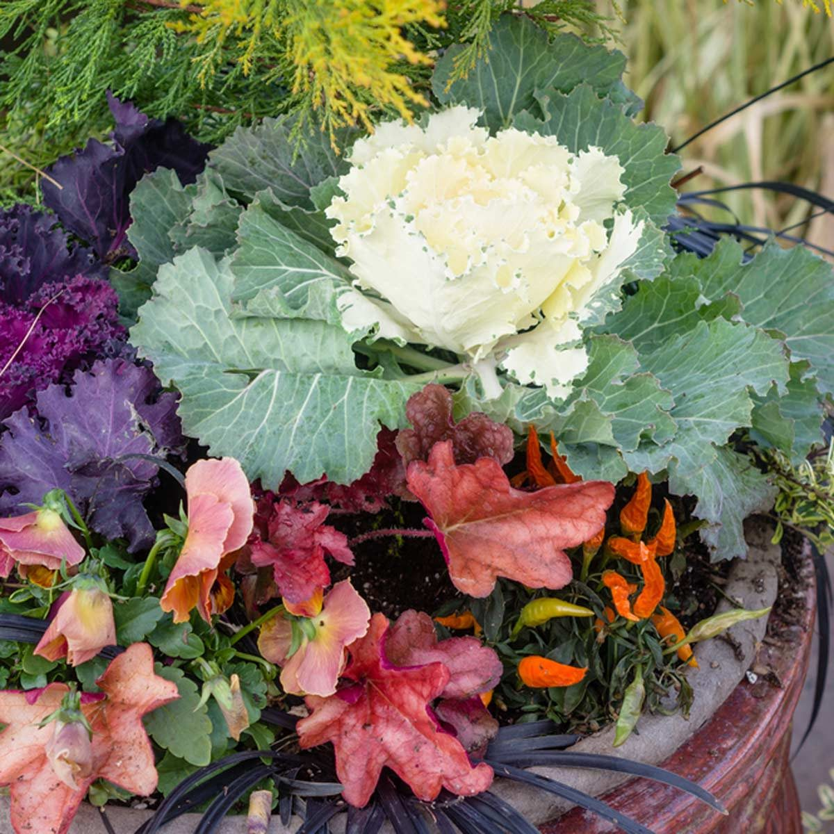 shutterstock_163190240 kale in fall container flower pot