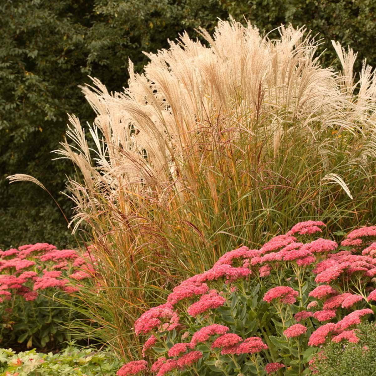shutterstock_176612621 Maiden grass